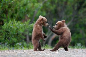 bear_cubs_playing